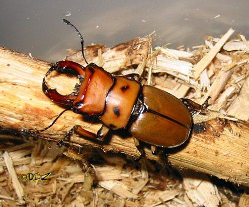 Gladiator Beetle