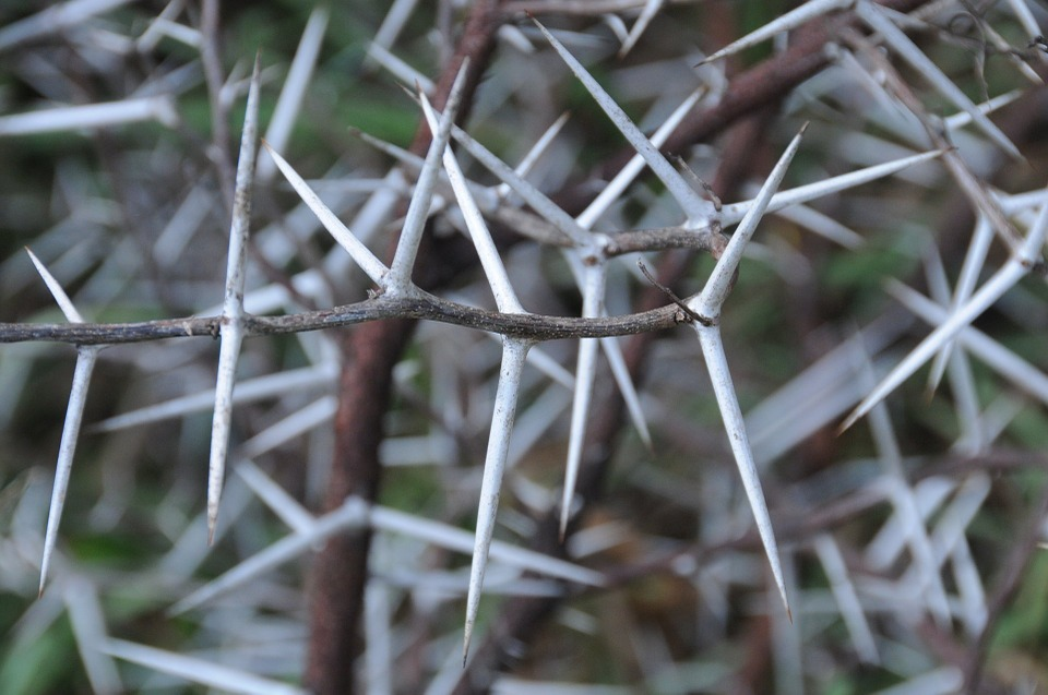 Thorny thicket